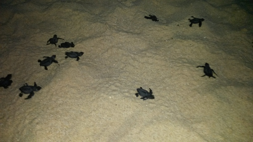 Sea_Turtle_Hatching